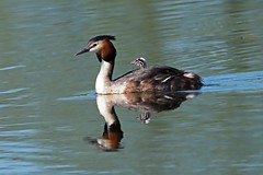 great crested grebe (Explore) (DODO 1959) Tags: wildlife england nature animal avian outdoor birds torview hide greatcrestedgrebe chick rspbhamwall somerset fauna reflection grebe olympus omdem1mk2 300mmf4 micro43 x14