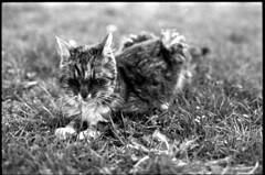 cat & grass (Rachelnazou) Tags: caffenol blackwhite minolta film fomapan analog argentique