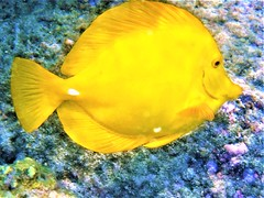 Yellow Tang portrait (thomasgorman1) Tags: fish tang tropical yellow underwater reef coral portrait hawaii kahaluu island nature sealife wildlife animal