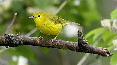Yellow Warbler (Steve Gifford - IN) Tags: yellow warbler hueston woods state park preble county oxford ohio steve stevengifford picture photo photograph nature wildlife bird