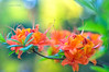 Azalea (II) (Grzesiek.) Tags: kwiat spring wiosna azalia azalie azalea