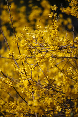 Forsythia [04.21.18] (Andrew H Wagner | AHWagner Photo) Tags: flowers yellow forsythia plant spring nature bokeh dof 5dmk3 5d3 5dmkiii 5dmarkiii 5dmark3 canon eos 135l 135mm f2 f2l md maryland golden gold flower outdoors