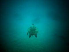 Underwater Friends (Thomas Hawk) Tags: america hawaii maui usa unitedstates unitedstatesofamerica wailea waileaelua seaturtle turtle underwater kihei us fav10