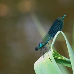 Calopteryx Splendens -  Male (Visual Stripes) Tags: calopterygidae odonata weidebeekjuffer insect invertebrate microfourthirds m43 mft panasoniclumixg1 sigma105mm macro handheld nois