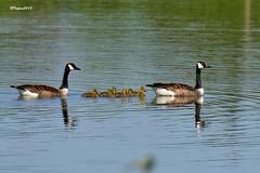 Famille Bernache en promenade (BPBP42) Tags: animal oiseaux oie goose nature