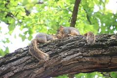 344/365/3631 (May 21, 2018) - Squirrels in Ann Arbor at the University of Michigan (May 21st, 2018) (cseeman) Tags: gobluesquirrels squirrels annarbor michigan animal campus universityofmichigan umsquirrels05212018 spring eating peanut mayumsquirrel oak buroak buroaktree rossschoolofbusiness oaktree cavitynest treecavitynest juveniles juvenilesquirrels 2018project365coreys yeartenproject365coreys project365 p365cs052018 356project2018