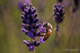 Backlit Bee on Lavender - Trioplan Shot