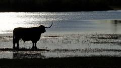 Ponder (peeteninge) Tags: wildlife scottishhighlander animal backlight evening nature tegenlicht schotsehooglander dier natuur avond fujifilmxt2 fujifilm xf80mmf28