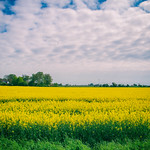 Rapeseed field thumbnail
