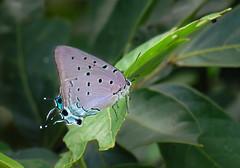 Pseudolycaena marsyas (Edson Roberto - Potim) Tags: borboleta pseudolycaenamarsyas lepidoptera lycaenidae