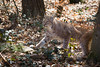 Lynx (Cloudtail the Snow Leopard) Tags: luchs lynx katze cat feline animal tier säugetier mammal beutegreifer predator pinselohr