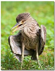 Black-crowned Night-Heron (Juvenile) (Betty Vlasiu) Tags: blackcrowned nightheron juvenile night heron juvenil nycticorax bird wildlife nature