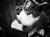 3936 - Bruto (Diego Rosato) Tags: bruto gatto cat gattino kitten animale animal pet bianconero blackwhite fuji x30 rawtherapee