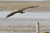 Glide. (stonefaction) Tags: osprey birds nature wildlife montrose basin angus scotland