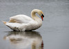Mute swan (Chalto!) Tags: keyhaven bird hampshire newforest pennington swan muteswan
