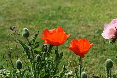 DSC_9989 (PeaTJay) Tags: nikond750 sigma reading lowerearley berkshire macro micro closeups gardens outdoors nature flora fauna plants flowers poppy poppies