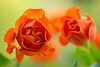 rose 4224 (junjiaoyama) Tags: japan flower rose orange bokeh spring macro