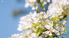 Spring freshness (VandenBerge Photography ....and we're back again!) Tags: spring season bright bee nature blossom sky canon eos80d