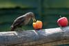 Healthy Diet (Steve (Hooky) Waddingham) Tags: stevenwaddinghamphotography bird garden wild wildlife nature song
