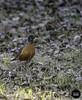 Backyard Birds (Evron14) Tags: finch bird fence backyard saskatoon robin saskatchewan spring