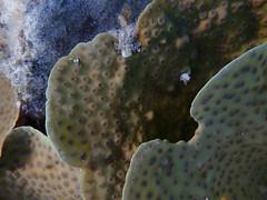 20171221--PC211039.jpg (r.mcminds) Tags: xvii hexacorallian tara taraindonesiapalau metazoan tarahelenreef 2ndsnorkel cnidaria photobyryanmcminds scleractinian robust anthozoan echinopora animal cnidarian hardcoral merulinidae stonycoral hatohobei palau pw