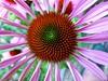 Coneflower (libra1054) Tags: sonnenhut coneflower echinacea blumen flores fiori flowers fleurs flora macro