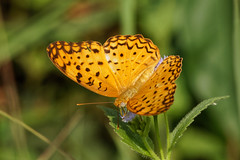 The Common Leopard (scubahenlik) Tags: butterfly thailand insect nymphalidae kohsamui nature