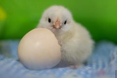 First Day Chick (barak.shacked) Tags: אפרוחעםביצה firstday adorblepic checken sweet אפרוח animle adorble babychick chick chicken אפרוחבלול newborn