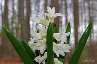Spring White Hyacinth