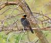 Snowy-headed Robin Chat (WildGinger2013) Tags: snowyheaded robin chat