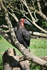 Calao terrestre (wannaell) Tags: calao terrestre hornbill bird wild sauvage animal