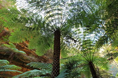 Through the Canopy (Darren Schiller) Tags: australia glowwormtunnel fern tree green bush lithgow newsouthwales bluemountains wollemi flora fronds