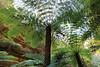 Through the Canopy (Darren Schiller) Tags: australia glowwormtunnel fern tree green bush lithgow newsouthwales bluemountains wollemi flora fronds
