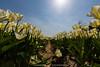 Flowerbulbs 1 - Tulips (Manuel Speksnijder) Tags: bloemen flowers holland zuidholland southholland hillegom hofduynlaan stationsweg nederland thenetherlands bollen bulbs bloembollen flowerbulbs bollenstreek bulbregion canoneos5dmarkiii canon ef1635mmf28liiusm tulpenvelden tulipfields tulp tulip velden fields tulpen tulips tulipfield tulpenveld geel yellow blue blauw sun zon