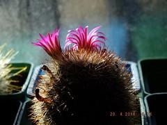 Mammillaria sp. (Alex_CL) Tags: mammillaria