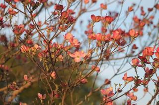 Cornus florida] Dogwood tree