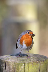 """Just Take The Shot - I've Got Kids To Feed"" (22010) (jonathanclark) Tags: spring robin food poser fence post sun sunshine woodland woods wood nature natural wild wildlife songbird"