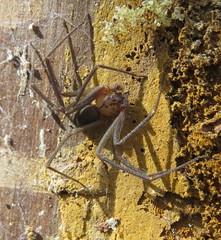 Brown Recluse spider (Bug Eric) Tags: animals wildlife nature outdoors spiders arachnids araneae arachnida texas brownrecluse loxoscelesreclusa sicariidae brackenridgefieldlaboratory austin northamerica april222018 usa
