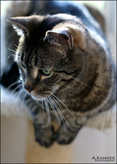My Andrew... (angelakanner) Tags: camellia cat pet fur tabby loveable yongnuo 50mm canon 70d