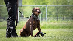 Funny taste (zola.kovacsh) Tags: outdoor animal pet dog ipo schutzhund dobermann doberman pinscher