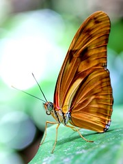 Orange Longwing (dianne_stankiewicz) Tags: orange longwing butterfly insect nature wildlife portrait texture wings coth5
