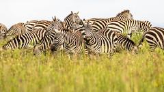 Nairobi-Nationalpark-6388 (ovg2012) Tags: commonzebra equusquagga kenia kenya nairobi nairobinationalpark safari steppenzebra