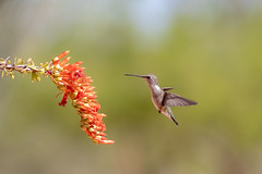 CC7A2969.jpg (gilamonster8) Tags: bokeh brid explored flower canon ocotillo ngc animal 5dmarkiv hummingbird wildlife flight annas flickrexplore flowersplants naturetop cactus arizona eos fly tucson