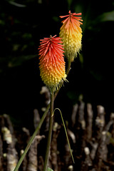 Me Too! (Journey CPL) Tags: hotpoker plant color bright vibrant unique red orange contrast colorful