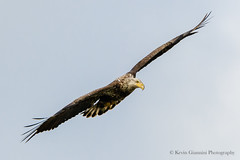 Immature Bald Eagle (Kevin James54) Tags: baldeagle haliaeetusleucocephalus lakegalena peacevalleypark tamron150600mm animals avian bird immature kevingianniniphotocom