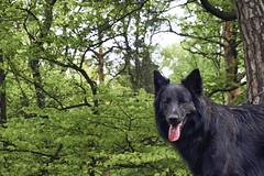 Totoro (Jos Mecklenfeld) Tags: totoro dutchshepherd dutchshepherddog hollandseherder hollandseherdershond shepherd shepherddog herder herdershond forest wald bos dog hund hond teutoburgerwald deutschland duitsland sonya6000 sonyilce6000 sonyepz1650mm selp1650 dörentherklippen northrheinwestfalen germany de