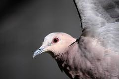 Dove in Flight (Arranion) Tags: canon eos 40d 70200mm f4 dove inflight flight freeze frame eye focus bird bokeh closeup birds nature wildlife
