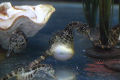 Pot Bellied Seahorses (charliejb) Tags: potbelliedseahorses potbelliedseahorse seahorse aquatic 2018 bristolzoo bristol water potbellied