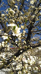 Bloom (cod_gabriel) Tags: bloom bucureşti bucuresti bucharest bucarest bucareste bukarest boekarest sakura bokeh dof depthoffield shallowfocus shallowdof shallowdepthoffield