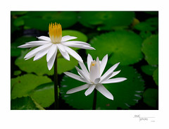 Lily (heritagefutures) Tags: water lily pond flower green waterplant fiji holiday
